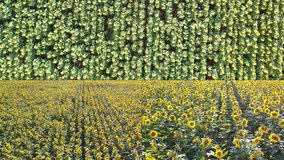 outdoor landscape yellow colorful bright nature plant above new video new split screen organic vegetables. cultivated field raw material bright light. agriculture industry nature scene industry food