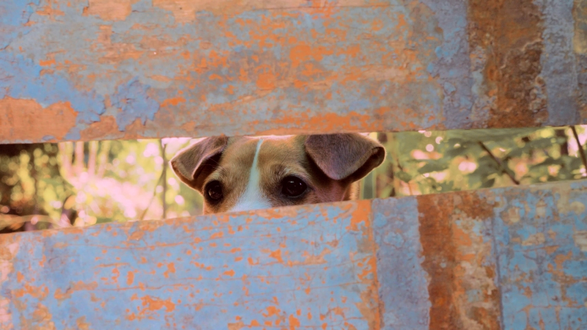 Dog looks out of hole in rusty fence. Dog Watching Neighbours. Muzzle of curious beagle dog peep through the hole. Jack Russell looking at camera through the hole in the fence. Trained dog spying