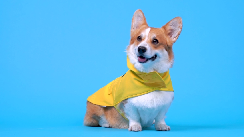 Adorable ginger and white dog of white welsh corgi Pembroke breed, wearing yellow coat, sits on blue background in studio, looks over there and runs out. Indoors, copy space. | Shutterstock HD Video #1054000625