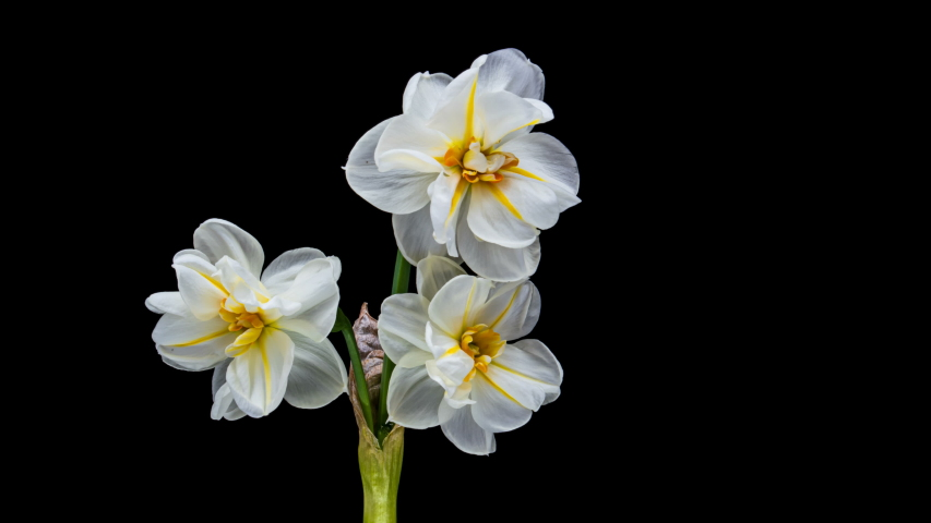 Narcissus. Blooming of beautiful white and yellow flowers on black background, Daffodil. Timelapse. 4K | Shutterstock HD Video #1054023011