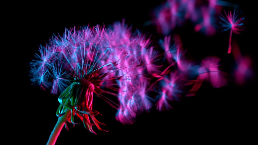 Macro Shot of Dandelion being blown in super slow motion on neon background. Filmed on high speed cinematic camera Royalty-Free Stock Footage #1054025417