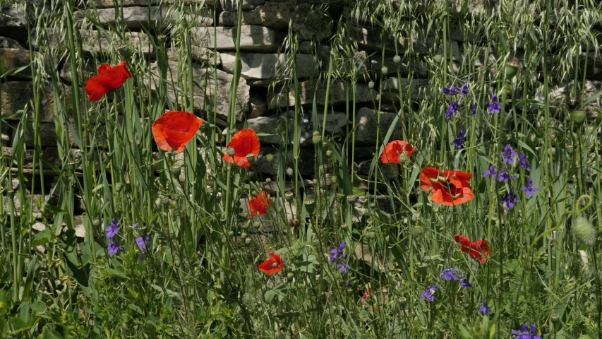 Lot of red poppies in front of garden stone wall 4K video | Shutterstock HD Video #1054047215