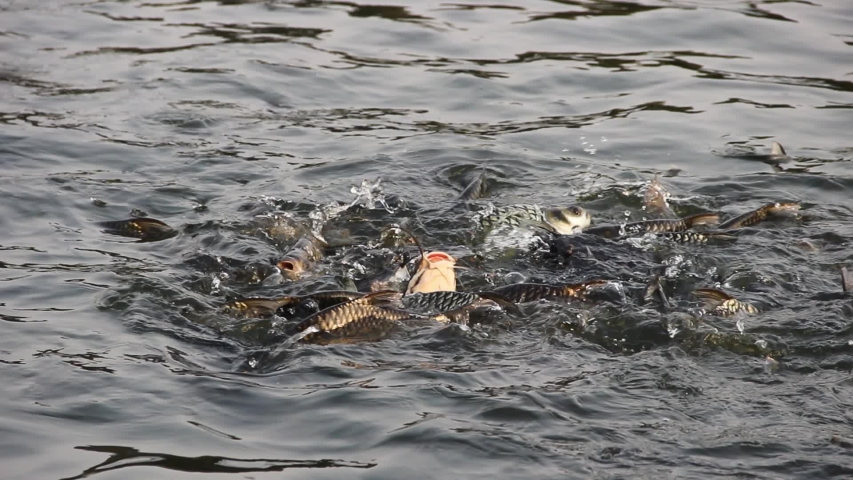 Many Chinese carp (Ctenopharyngodon idella) in the fish pond during feeding, Southeast Asia. The noise of the splashing fish | Shutterstock HD Video #1054068821