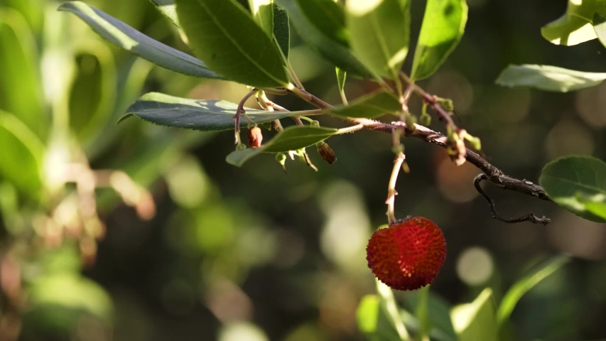 Woman picking red colored wild strawberries from the branch in nature.  | Shutterstock HD Video #1054069691