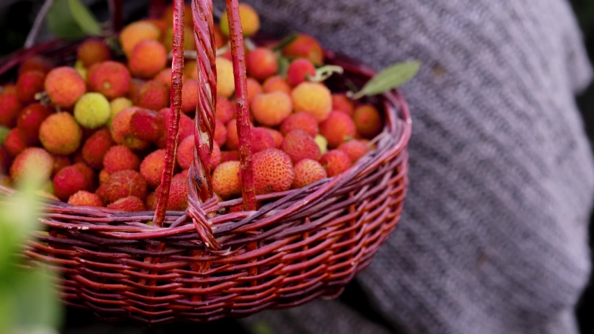 Woman Collecting red colored wild strawberries in to a red basket in nature.  | Shutterstock HD Video #1054069700