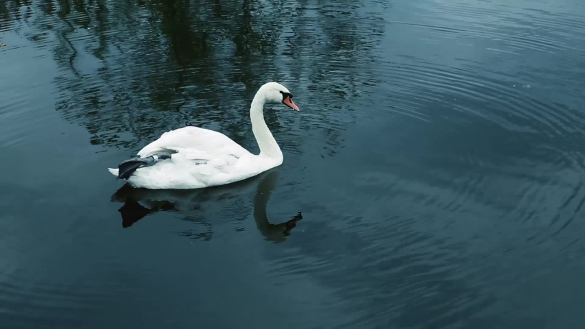 A white swan swims in the water of a pond and cleans its feathers, close-up. Video