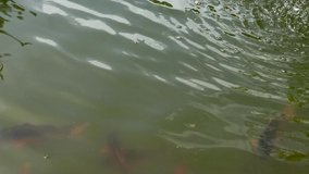 Red fish swim in the pond. Fish rise to the surface of the water, close-up. Video