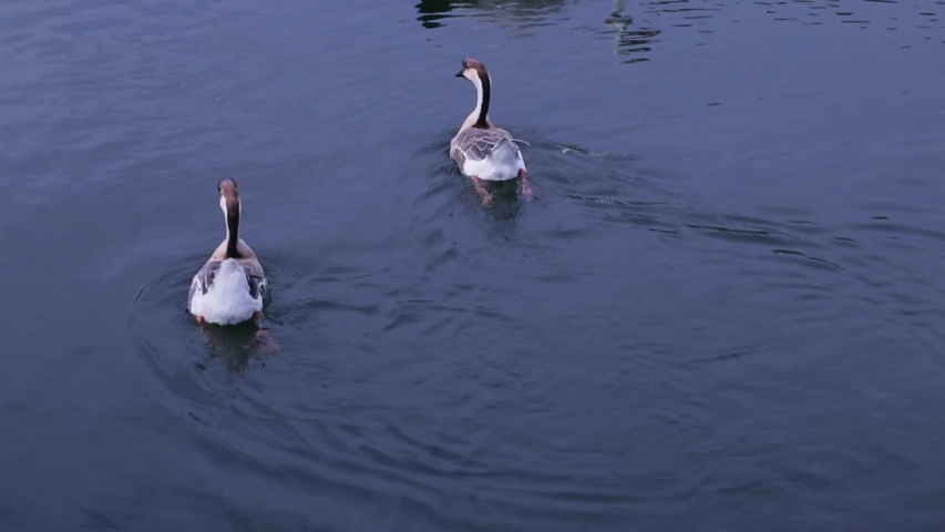 Two wild geese and a white swan are swimming in the water of a pond, close-up. Video