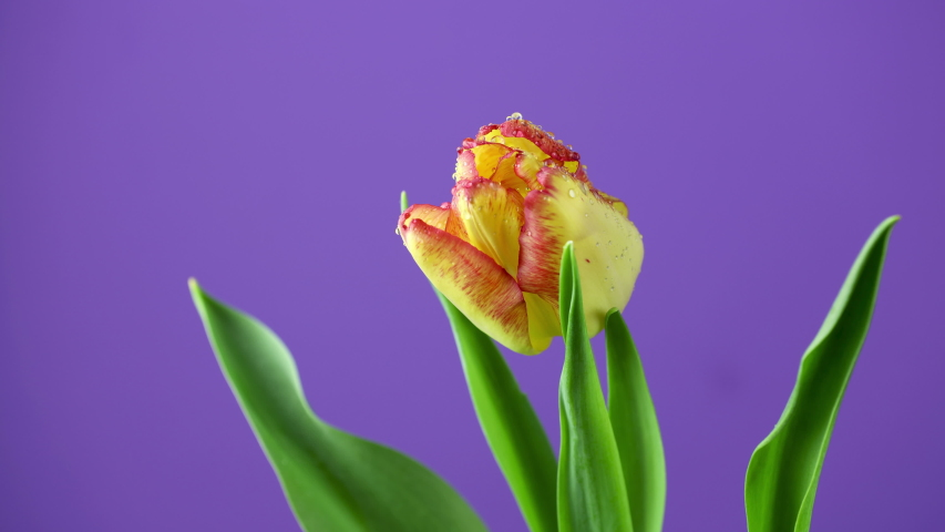 Tulip. Timelapse of bright yellow red colorful tulip flower blooming on purple or violet background. Time lapse tulip bunch of spring flowers opening, close-up. Holiday bouquet. 4K video