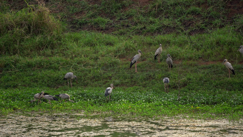Big bird flock on river for finding food
