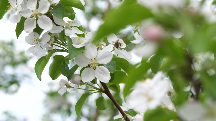 Blooming Apple tree close up. Pollination of inflorescences by bees | Shutterstock HD Video #1054121480