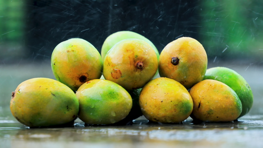 Fresh Harvest Seasonal Organic Alphonso, King of Mango, placed in rain. Sweet delicious mango in monsoon season.
