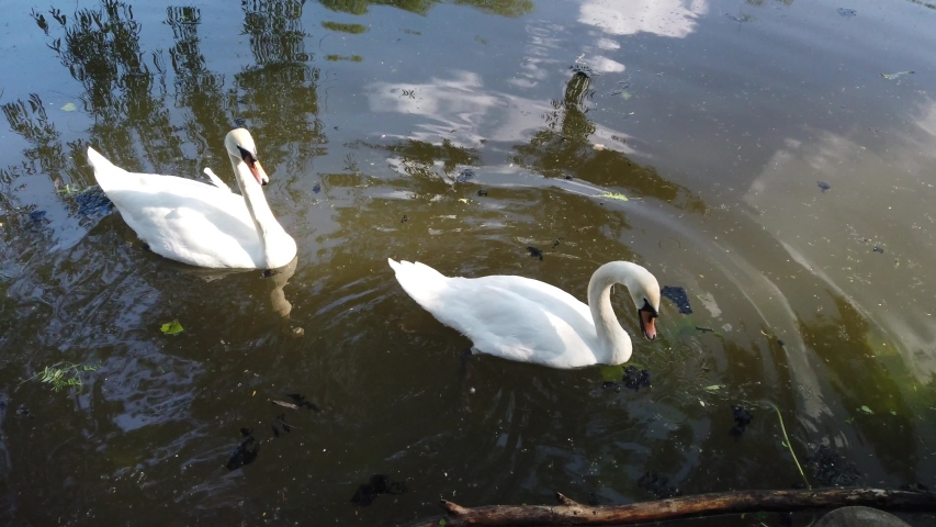 Two gorgeous white swan floating at natural pond water surrounded by greenery. People feed swans with grass.