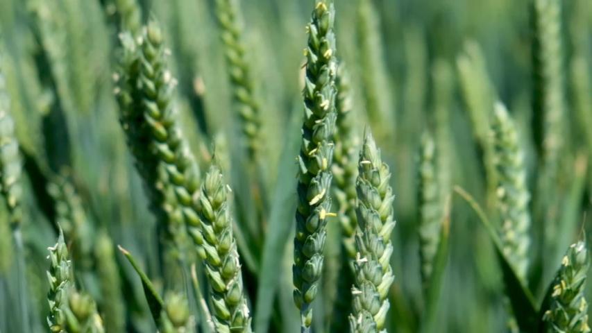 Ripening ears of meadow wheat field. Rich harvest Concept. Slow motion Wheat field. Ears of green wheat close up. Beautiful Nature, Rural Scenery.  | Shutterstock HD Video #1054137041