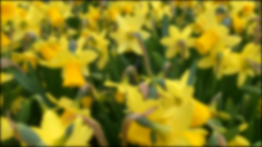 Blurred image of beautiful yellow daffodils are blooming, spring garden concept, botanical, urban gardening | Shutterstock HD Video #1054143344