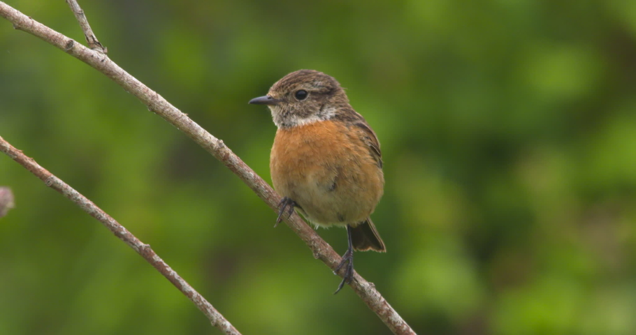 Beautiful Stonechat female bird on branch singing flying away slow motion