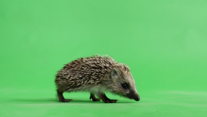 A hedgehog that goes from left to right against a green screen.