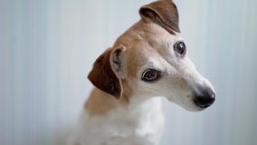 A dog Jack Russell terrier looking to the camera shaking head curious eyes. interested following with attention. Video footage pet theme. indoors home blue background blue. Shallow depth of field DSLR