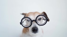 Funny dog in glasses looking to the camera with attention. Lovely smart nerd reading lover. Programmer pet. Video footage Close up portrait. White background. Cute pet muzzle looking to the camera.