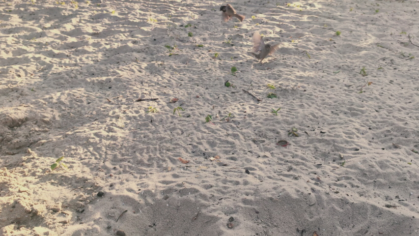 Sparrows sparrows eat on the beach in hot sunny day   Shutterstock HD Video #1054149035