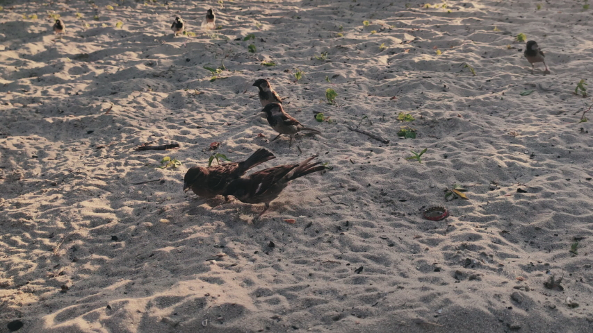 Sparrows sparrows eat on the beach in hot sunny day   Shutterstock HD Video #1054149038