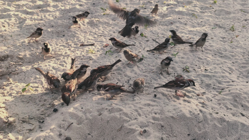 Sparrows sparrows eat on the beach in hot sunny day   Shutterstock HD Video #1054149041