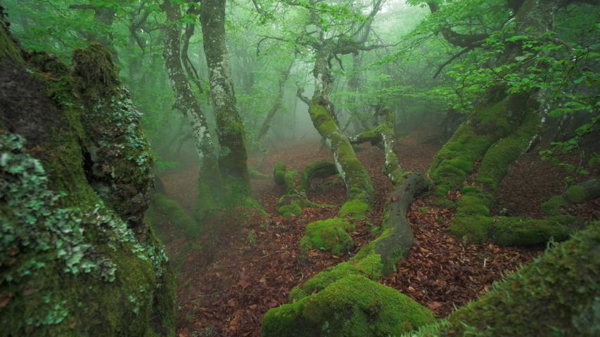 A misty beech forest in the Pilat park in france. | Shutterstock HD Video #1054160657