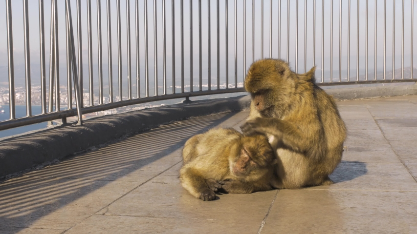 Two monkeys taking care of each other's hygiene. There are sitting on a balcony in Gibraltar. | Shutterstock HD Video #1054174805