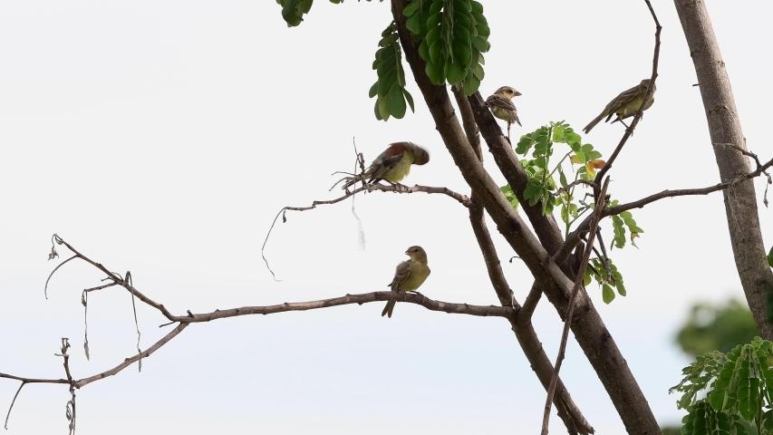 Birds (Plain-backed sparrow) on a branch   Shutterstock HD Video #1054178285