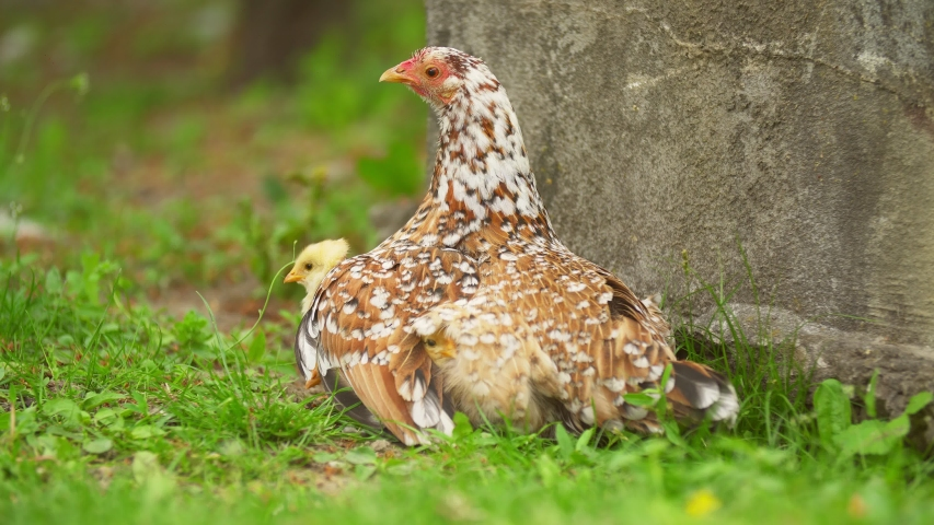 Mom chicken sits with her chickens on the lawn