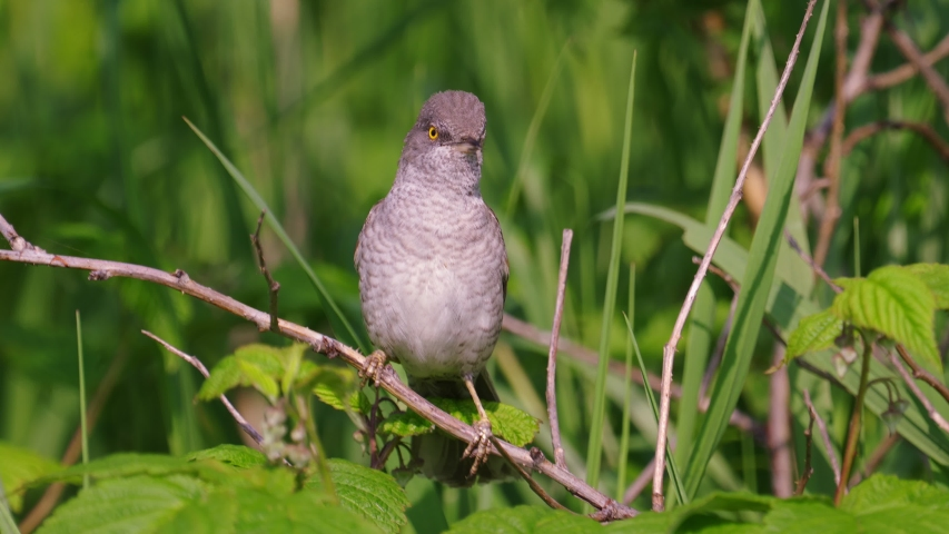 Bird - Barred Warbler ( Sylvia nisoria ) sitting on a branch of a bush and sings his song sunny summer morning. Close-up. The sound of the song inside the video.   Shutterstock HD Video #1054194152