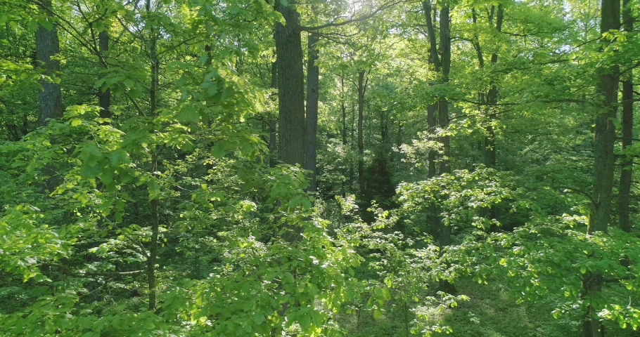 Oak forest in the morning. Green forest, old trees, beautiful views and landscapes_33