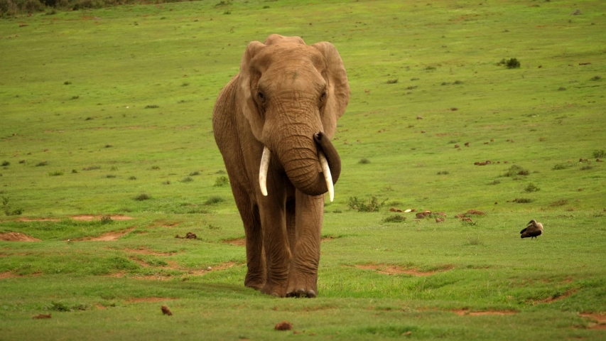 Portrait of African elephant walking on grass, lifting trunk, flapping ears, and wagging tail, South Africa   Shutterstock HD Video #1054263605