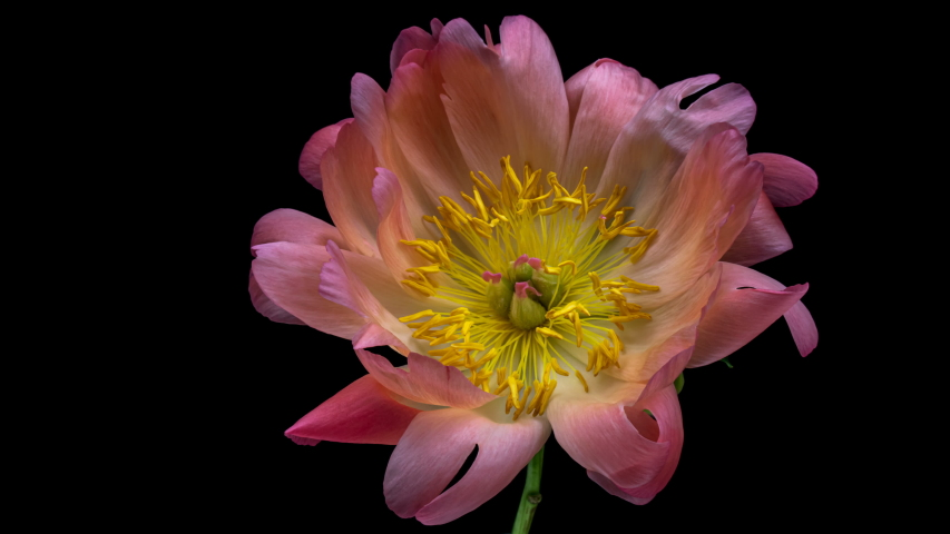 Timelapse of beautiful pink ( coral) peony flower blooming on black background. Waving pink peony petals close-up. | Shutterstock HD Video #1054279796