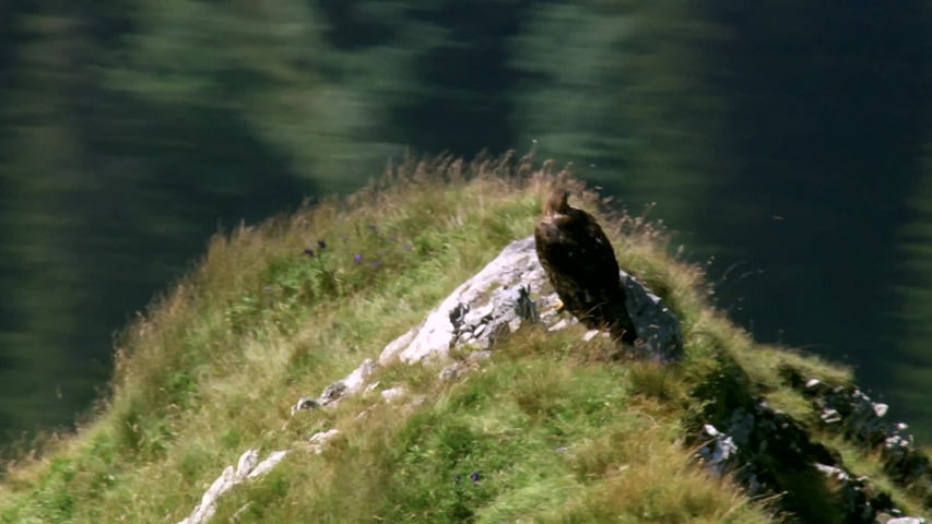 The eastern imperial eagle is a large bird of prey in the hawk family. It breeds in the steppe and forest-steppe zone, inhabits open spaces with Islands of forest or free-standing tall trees