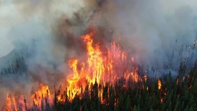 epic horrible wildfire pine trees forest disaster, burning conifer trees