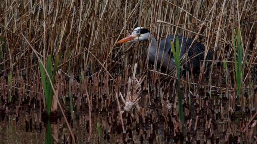 Grey Heron in habitat. Her Latin name is Ardea cinerea.