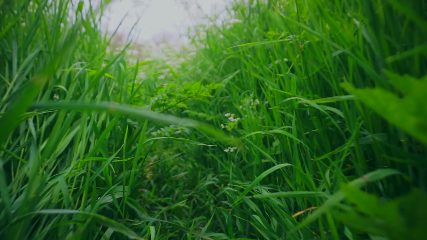 View of a crawling animal, cat or snake through the grass. Scampering through grass trail POV point of view