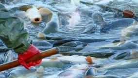 Carp - Classification of Freshwater Fish, 4k Video Clip