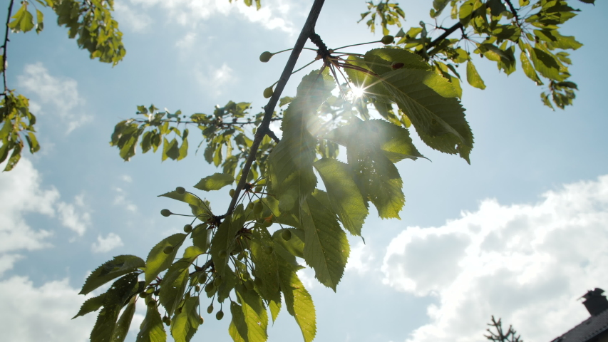 Beautiful wide shot, dolly in, of a cherrie tree branch with the sun shining through forming a sunstar | Shutterstock HD Video #1054305566