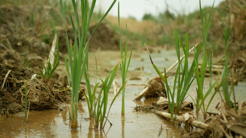 Drought river stream wetland, swamp creek rivulet drying up soil cracked crust earth climate change, surface extreme heat wave caused crisis, environmental disaster clay cracks, death plants water | Shutterstock HD Video #1054306160