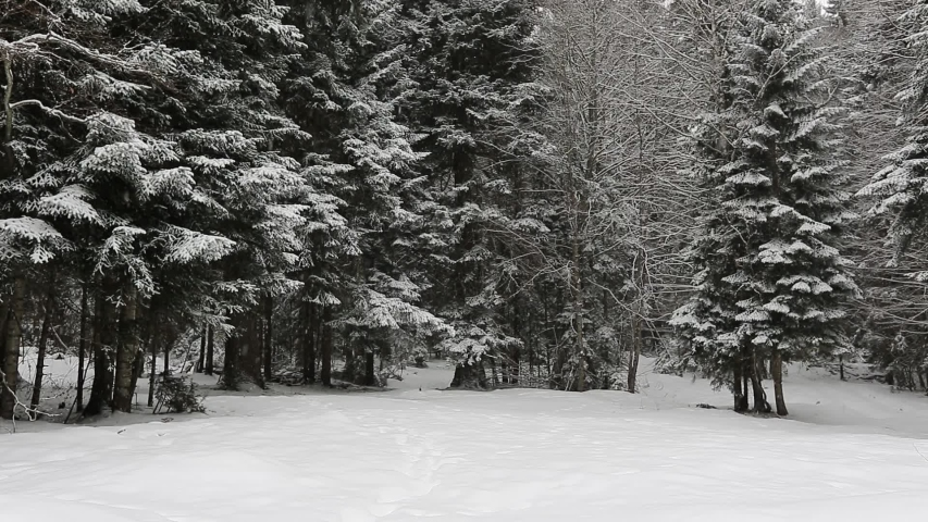 Snowfall in winter in the forest, soft snowy christmas morning with falling snow. Winter landscape. Snow covered trees.