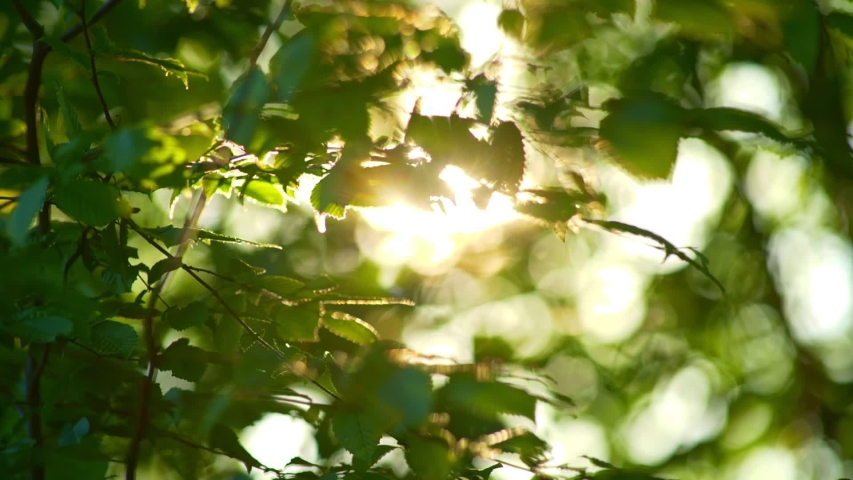 Rich green leaves of a tree waving in wind. Beautiful roundish bokeh. Sun shining through. Abstract slow motion shot | Shutterstock HD Video #1054311674