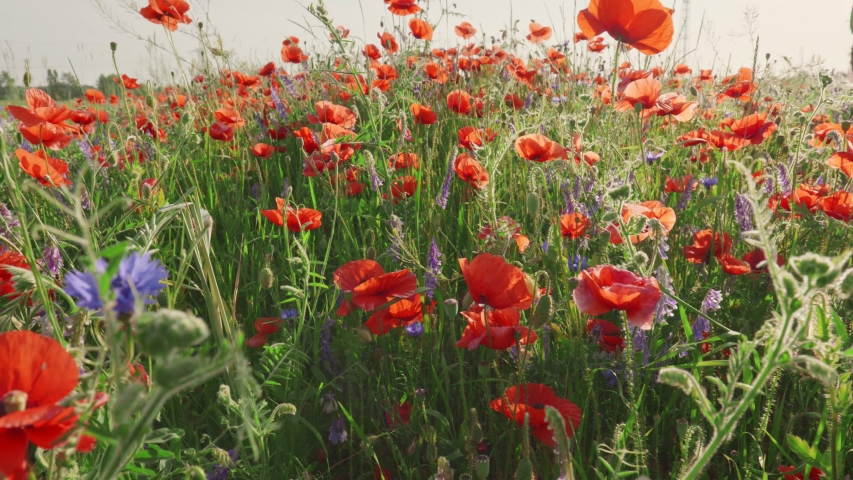 Red poppies on the field with weeds pollinating them. Summer floral flower concept, sensations of summer   Shutterstock HD Video #1054311716