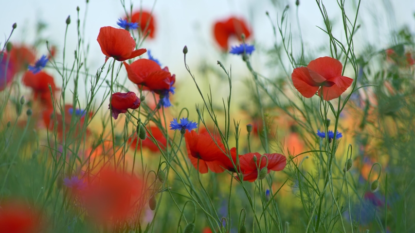 Red Poppies and cornflowers swaying in the wind on a summer flower field. Gorgeous floral background, sensations of warm summer. UHD, 4K   Shutterstock HD Video #1054311725
