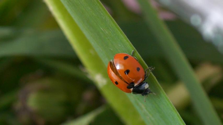 Ladybug or ladybird beetle walks along a blade of green grass and flies away | Shutterstock HD Video #1054311860
