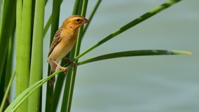 Yellow tiny bird perching on green leaf in sunny day. Asian golden weaver ( Ploceus hypoxanthus ),female.