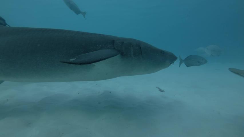Tawny nurse shark - Nebrius ferrugineus and Pink whipray - Himantura fai swims over sandy bottom, Indian Ocean, Maldives, Asia