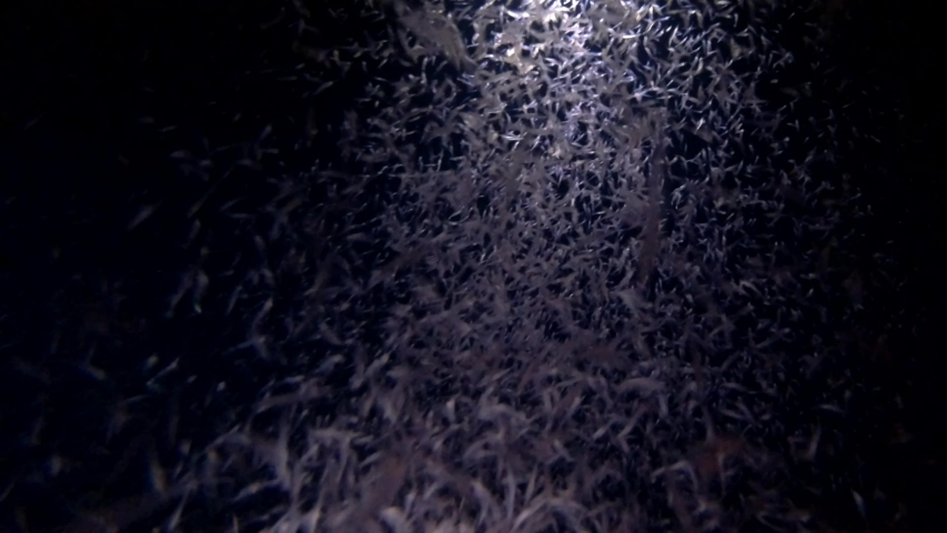 Mass of krill in the beam of a lantern at night - Indian Ocean, Maldives