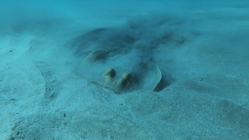 Close-up of Blue-spotted Stingray (Taeniura lymma) energetically digging sand in searching for foods. Red sea, Egypt | Shutterstock HD Video #1054320110